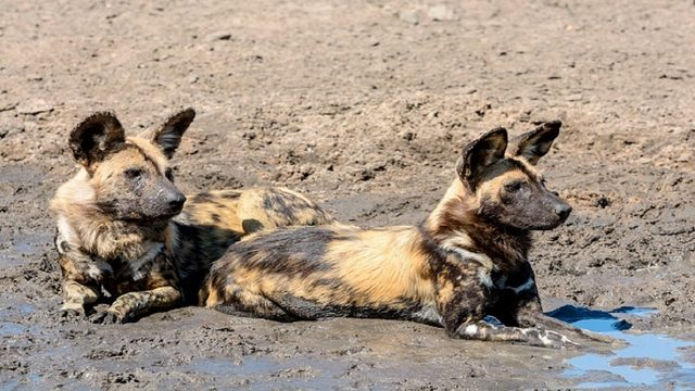 Metal door collapses on African painted dog at Zoo Miami, killing it instantly