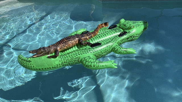 Chillin' gator! Alligator found relaxing on gator raft in Florida pool