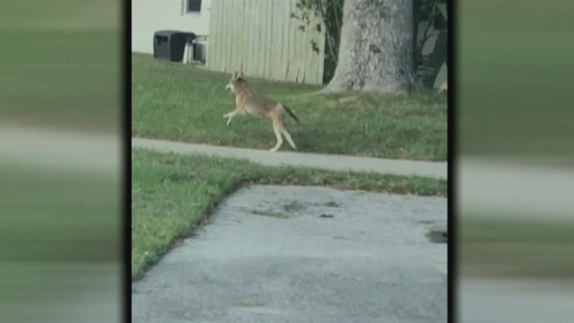 Coyote spotted running through Deerfield Beach neighborhood