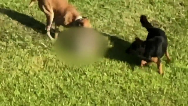 Video captures dogs mauling another dog in Miami-Dade County's Tamiami area