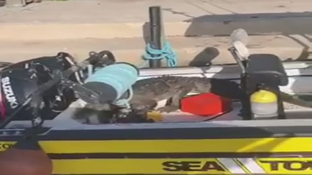 Gator lounges in Sea Tow boat before making way back into water at Black Point