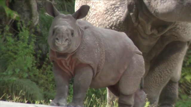 Zoo Miami holds gender reveal for new baby rhino