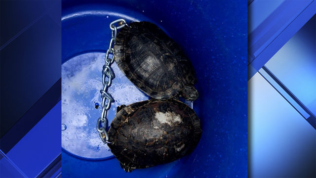 Turtles found chained together in Miami River