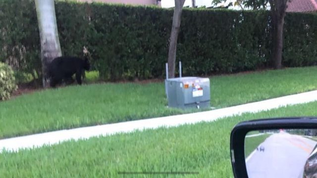 Black bear spotted in Homestead neighborhood on Fourth of July
