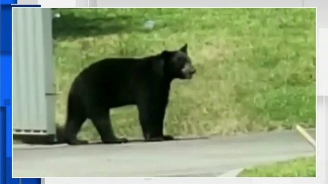 Black bear spotted multiple times in Homestead, police say