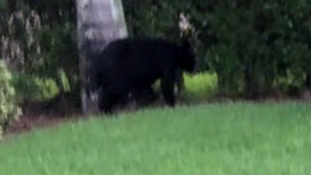 Black bears spotted on Fourth of July in Homestead neighborhoods