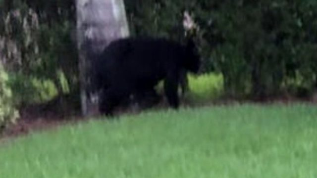 Search underway for black bear spotted in Homestead