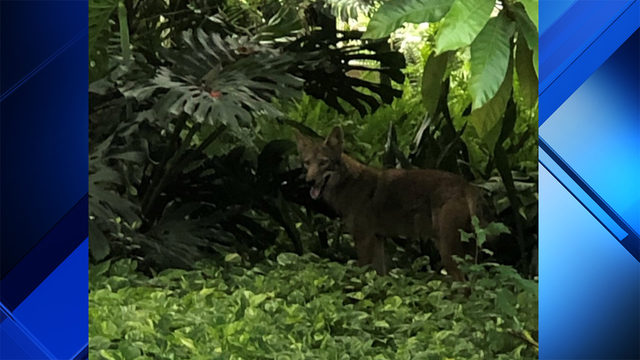 El Portal police warn residents about wandering coyote