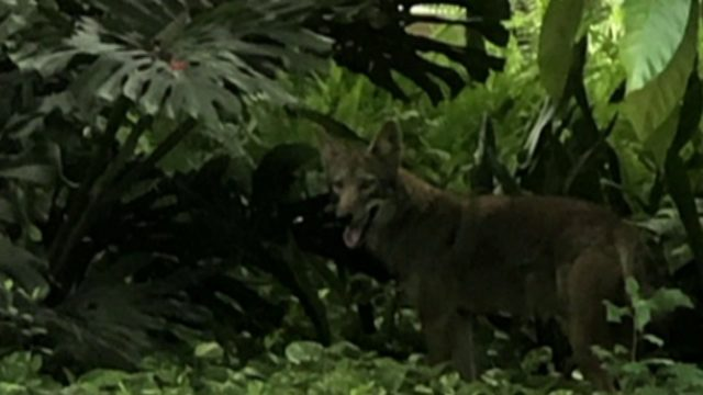 Coyote on loose concerns neighborhood residents
