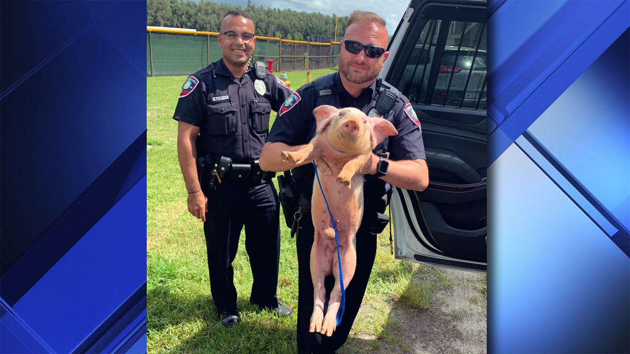 Lost piglet found wandering in Pembroke Pines