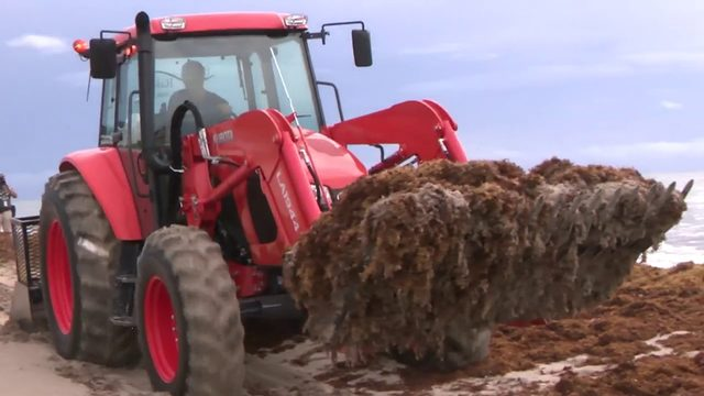 Miami-Dade County begins removing smelly seaweed from beaches