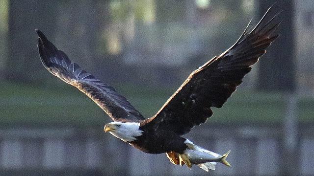 Trump overhauling enforcement of Endangered Species Act