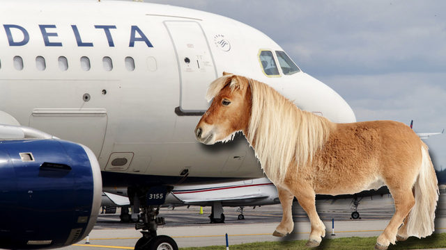 Miniature horses are officially cleared for take off