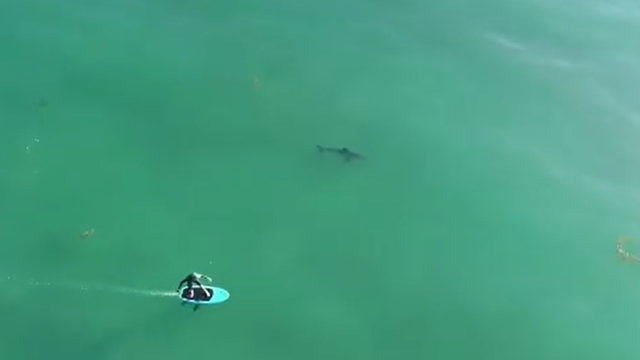 VIDEO: Surfers oblivious to great white sharks lurking feet away
