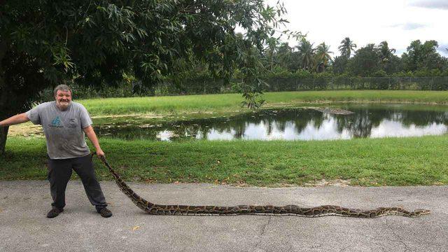 Big python bagged at Big Cypress National Preserve