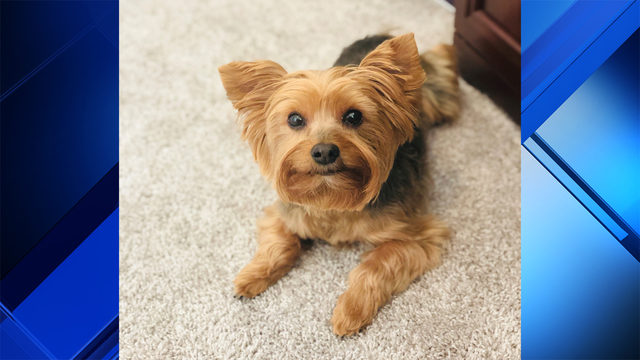 Burglars steal Yorkshire terrier after ransacking home in Miami