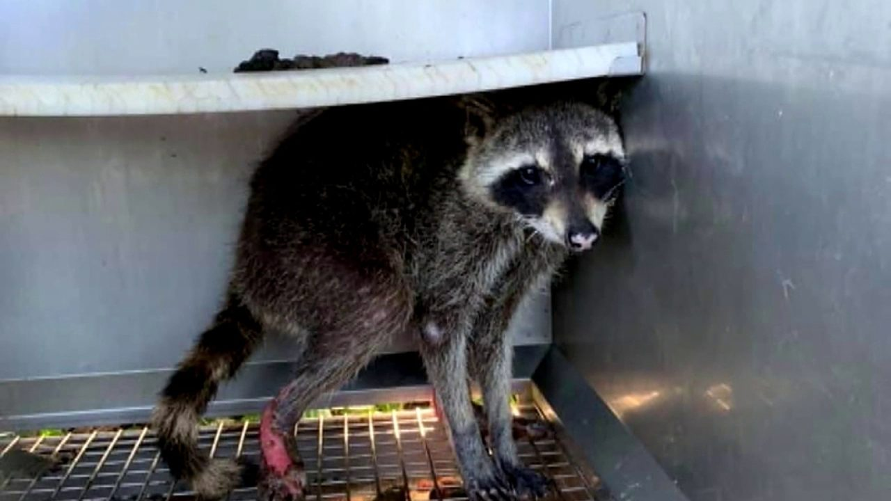 Raccoon nursed back to health, released back into wild after being badly injured in brush fire