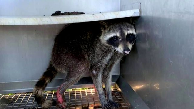 Raccoon nursed back to health, released back into wild after being badly…