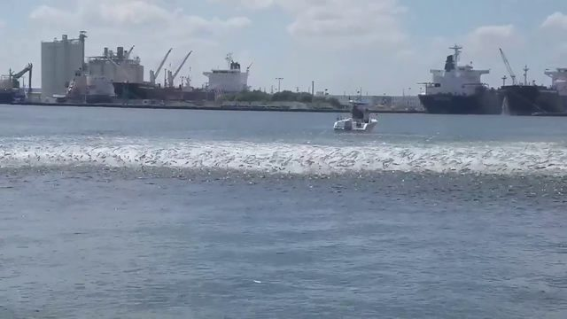 Video shows mayhem of mullet run in Port Everglades