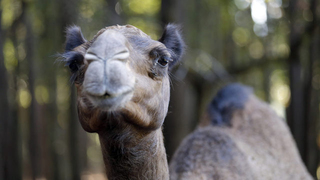 Florida woman bites 600-pound camel's testicles after it sat on her