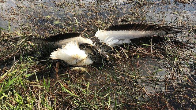 Invasive Burmese python targets white pelican in Everglades