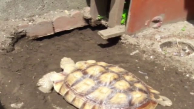 Speedy the tortoise missing from his Miami Gardens home