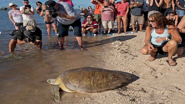 Sea turtle wounded in spear attack released back into ocean